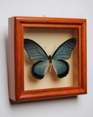 Niebieski motyl Papilio Zalmoxis w gablocie, ramie