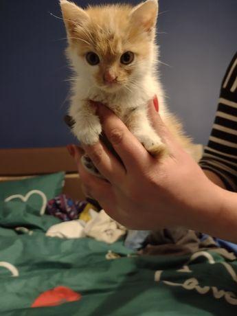 Oddam za darmo małą kotkę
