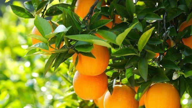 Апельсин Валенсия комнатный