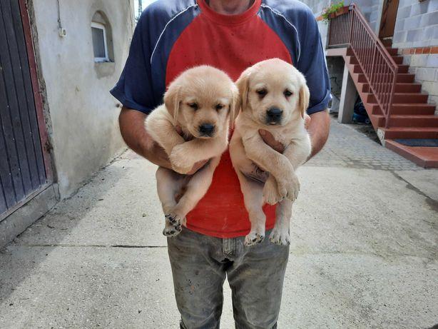Labradory pieski suczki