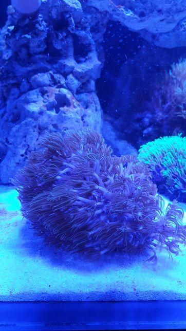 Akwarium morskie koral miękki briareum