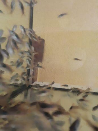 Kirysek spiżowy własna hodowla
