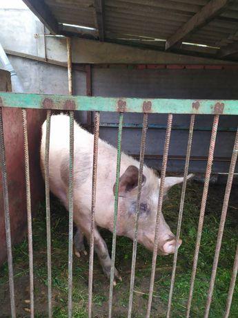 Продаю свиноматку