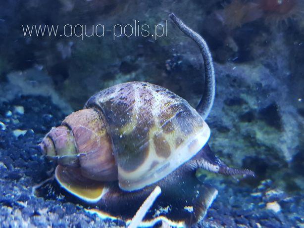 Babylonia lutosa / ślimak /akwarium morskie