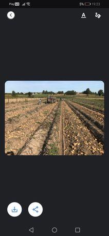 Kartofle ziemniaki