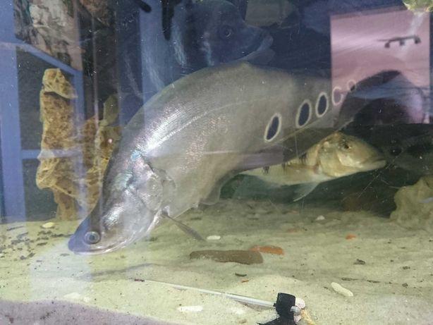 chitala ornata 40cm