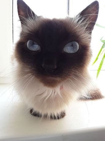Предлагаю на вязку сиамскую кошку