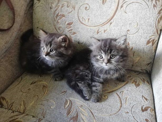 Kotka i kocurek syberyjskie