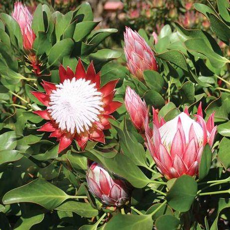 Proteas Lithe Prince plantas