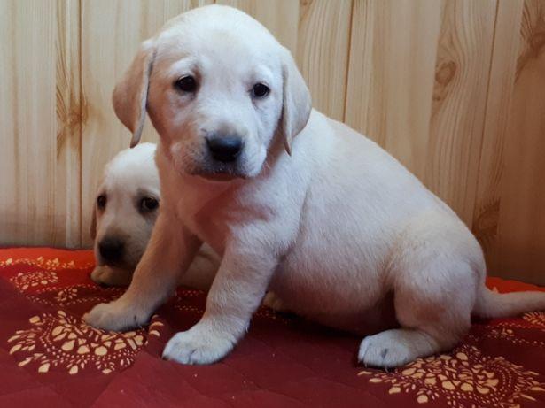 Labrador Retriever śliczne!!