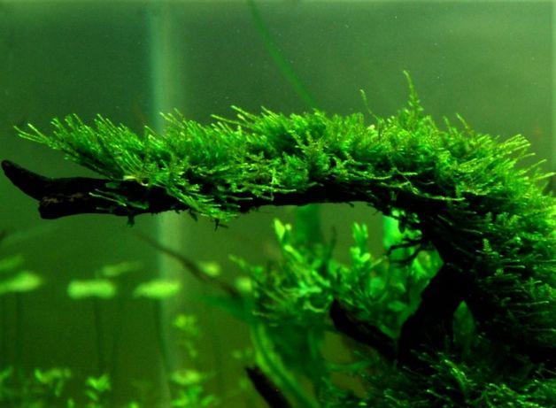 Mech Jawajski Java Moss roślina akwariowa rośliny akwariowe