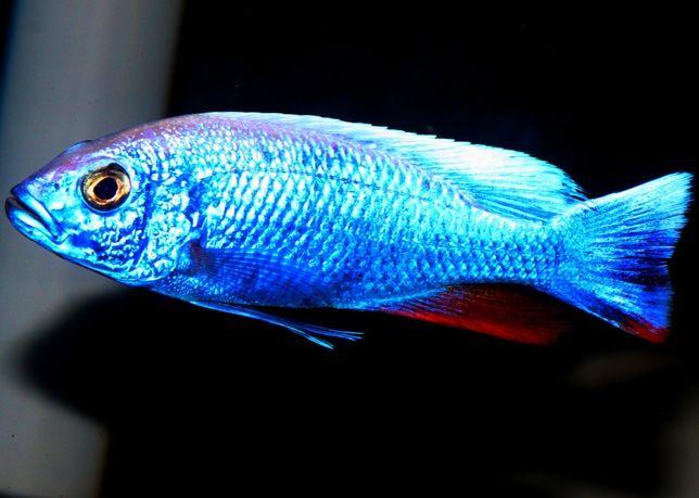 Scienochromis IB Malawi Pyszczaki Olsztyn sklep zoologiczny Pirania