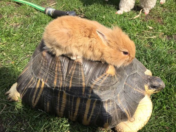 Продам лучистую черепаху