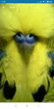 Папуга ручний для всієї родини