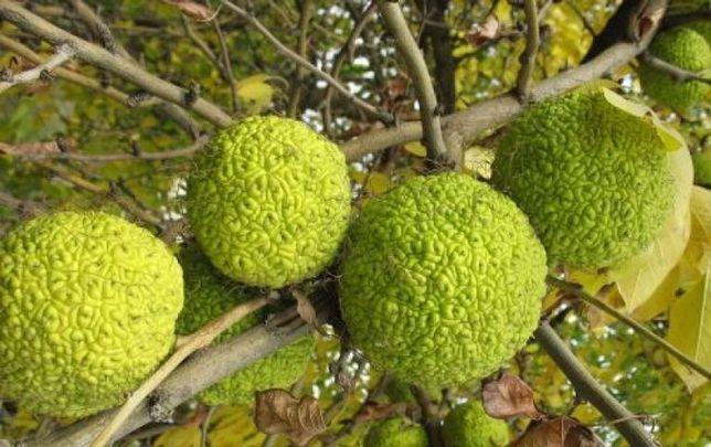 Маклюра (Адамово яблоко) для лечения суставов, вен и новообразований!