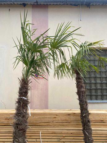 ZAGINĘŁY dwie palmy egzotyczne