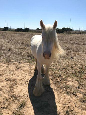 Vende -se égua Gypsy Pura