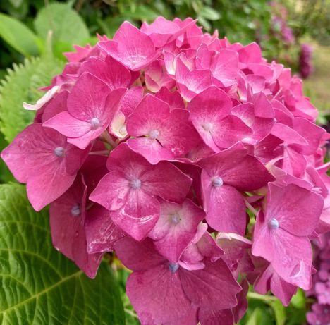 Hortensias  Vários cores