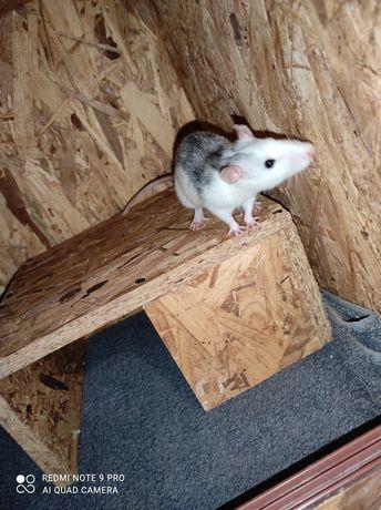 Oddam szczura domowego