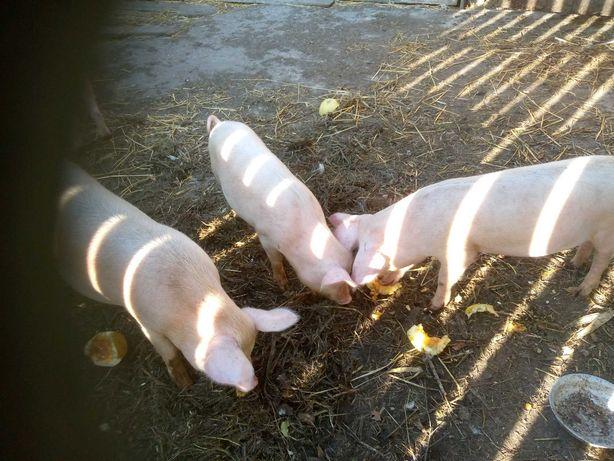 Поросята , свині , 7 місяців