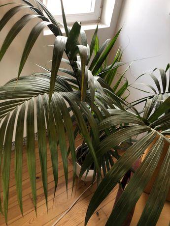 Kencia Planta com vaso de cerâmica 160cm