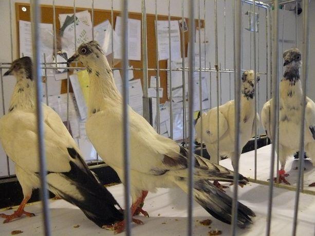 Gołębie Wiedeńskie