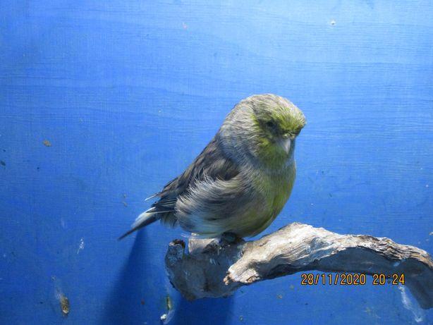 Kanarek kanarki samiec Gloster zielony