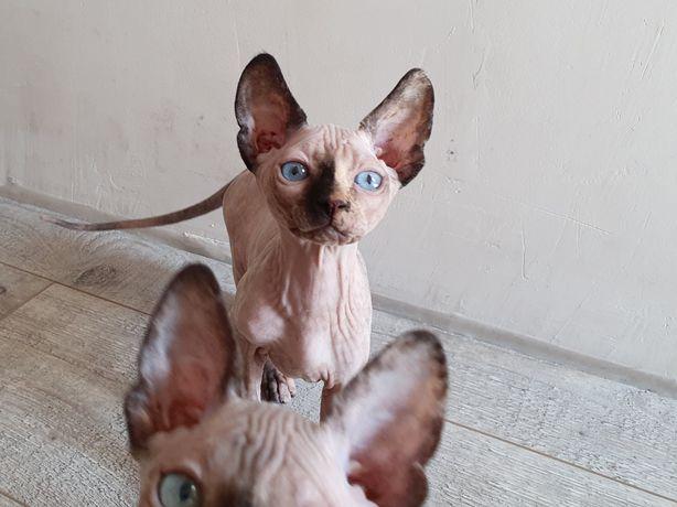 Обмен предлагайте девочка сфинкс голубые глаза, 2,5 мес