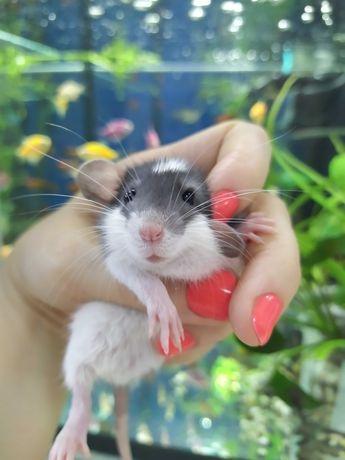 Крыски декоративные, крысята ручные. Крысы маленькие.  Разные ,Дамбо