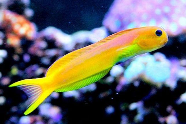 Akwarium morskie - Ecenius midas