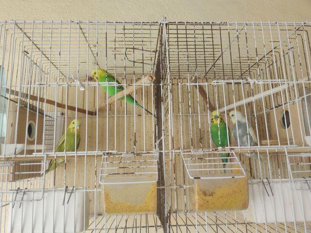Vendo 2 casais reprodutores + crias + gaiola com acessórios