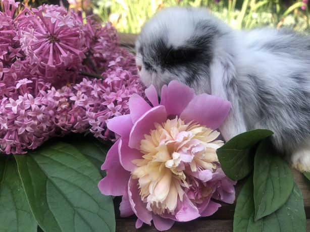 Кролик міні, Міні Лоп , декоративний кролик, карликовий кролик