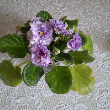 Фіалка узамбарська,сортова,молода, цвіте великими пишними квітами