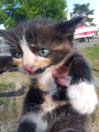Отдам котят кошечка девочка в добрые руки