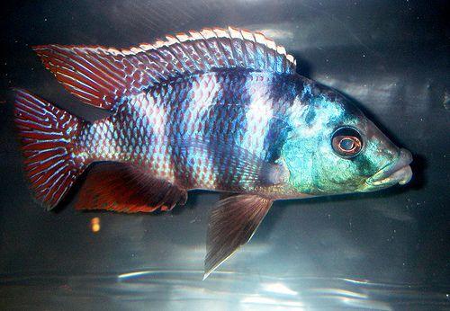 Pyszczak placidochromis milomo -5 cm trójmiasto,wejherowo,tczew