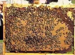 Пчелопакеты продам 15 шт