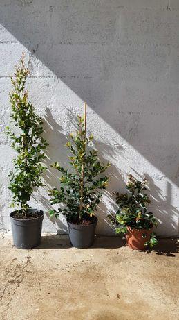 Eugênias Myrtifolia Newport / Arbustivos / Sebe