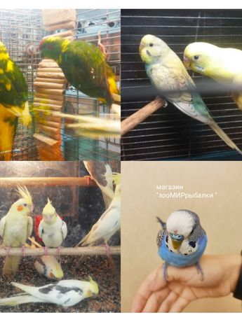 Малыши птенцы волнистого попугая для разговора, магазин