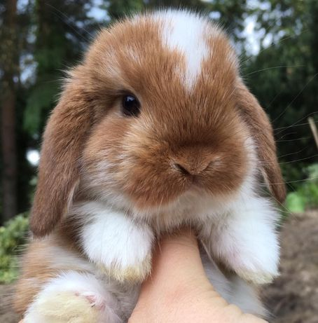 Mini lop królik miniaturowy baranek miniaturka teddy z dowozem na już
