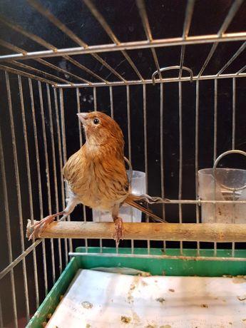 Kanarek Samiec 2021 NR 3 Wysyłam ptaki kurierem