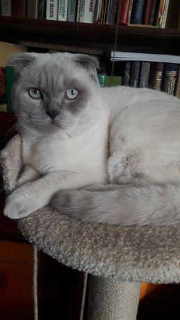 Шотландский вислоухий молодой кот ищет для вязки прямоухую кошечку