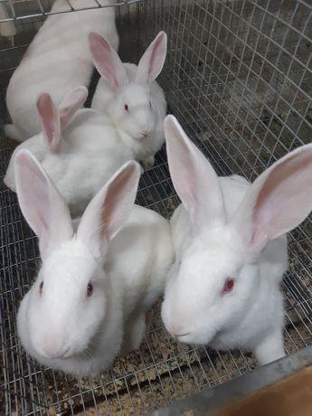 Кролики .Термонець білий, самці і самки