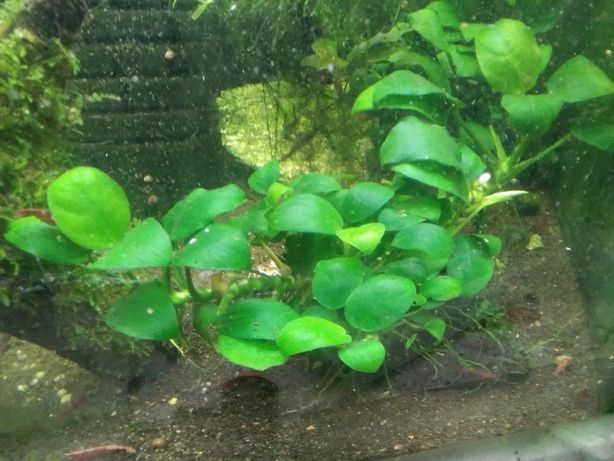 Anubias nana plus bucephalandra