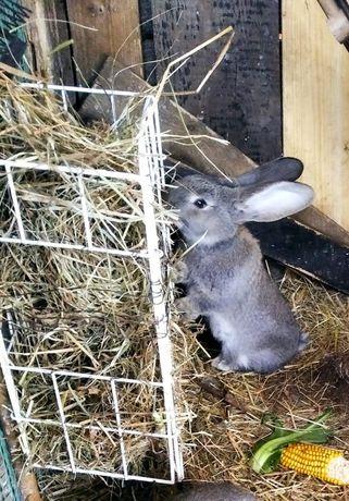 sprzedam młode króliki. Duża rasa Boss - olbrzym belgijski