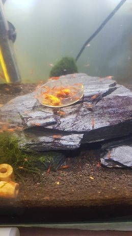 Krewetki  akwariowe
