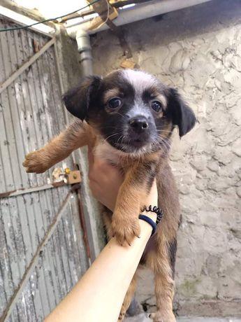 Aldo- cachorro bebe de porte pequeno para adoção