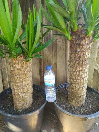 Yucca Tronco Muito Grosso