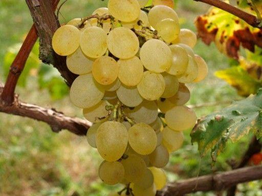 Sadzonki Winogrona 3,5 letnie 90 cm Deserowe i na Wino - Mix odmian