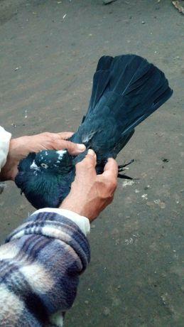 голуби андижанцы