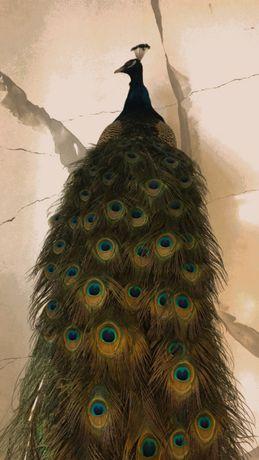 Павлины и яйца павлинов